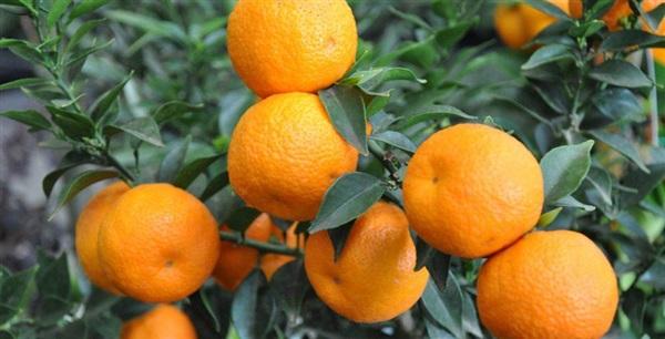 Гіркий апельсин чинно: склад, калорійність, користь, рецепти