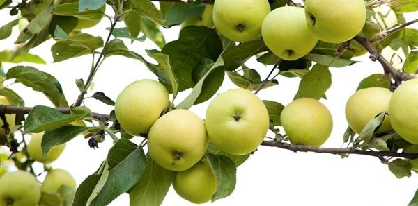 Яблука Білий налив: склад, калорійність, користь, рецепти