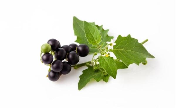 Паслін чорний: користь і шкода, рецепти, застосування