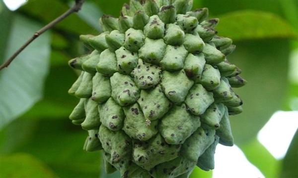 Роллиния слизова: користь, шкоду, як їдять бирибу, рецепти