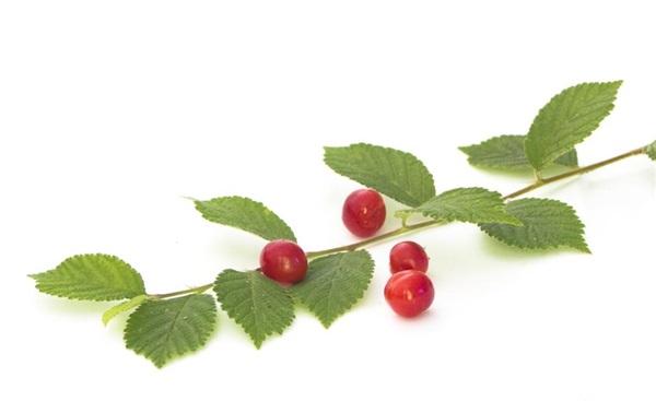 Повстяна вишня: користь і шкода, як їдять, рецепти