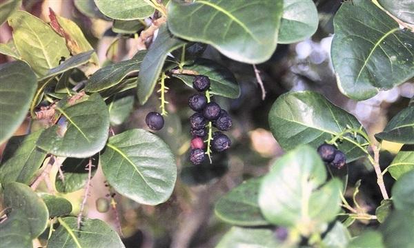 Голубина зливу: користь, шкоду, як їдять титонгу, рецепти страв