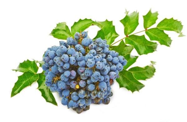 Магонія падуболиста: користь, шкоду, рецепти з орегонским виноградом