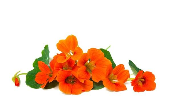 Квіти настурції: користь, шкоду, як їдять, рецепти